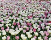 Keukenhof_tulips_03May13_05